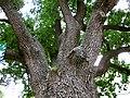 400-літній дуб у середмісті Полтави.jpg
