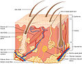 501 Structure of the skin.jpg