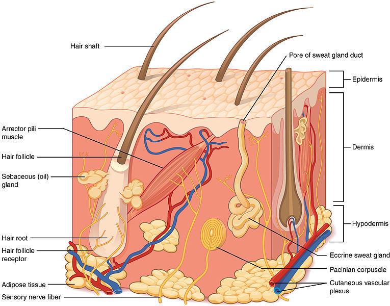 struktur anatomi dan fungsi kulit