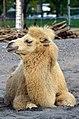 50 Jahre Knie's Kinderzoo - Camelus bactrianus (Trampeltier) 2012-10-03 15-21-32.JPG
