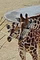 50 Jahre Knie's Kinderzoo Rapperswil - Giraffa camelopardalis 2012-10-03 14-26-57.JPG