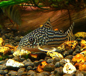 Description de l'image 55067369.Corydorassterbai.jpeg.
