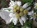 5673 - Schynige Platte - Leontopodium alpinum.JPG