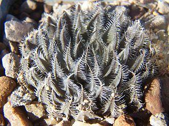 Haworthia arachnoidea - Form from the Tanqua Karoo