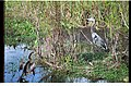 ANHINGA AND BLUE HERON FROM BOARDWALK - panoramio.jpg