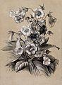 A bunch of flowering gloxinias (Sinningia speciosa var.). Li Wellcome V0044596.jpg