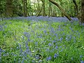 A carpet of bluebells - geograph.org.uk - 1294527.jpg