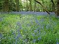 A carpet of bluebells - geograph.org.uk - 1294527.jpg