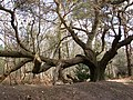 A gnarled old oak - geograph.org.uk - 1205727.jpg