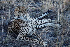 A great female cheetah 2.JPG