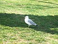 A gull in Sylvester Park, Pasco, Washington.jpg