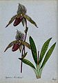 A lady's slipper orchid (Cypripedium Tixallense); flowering Wellcome V0043286.jpg