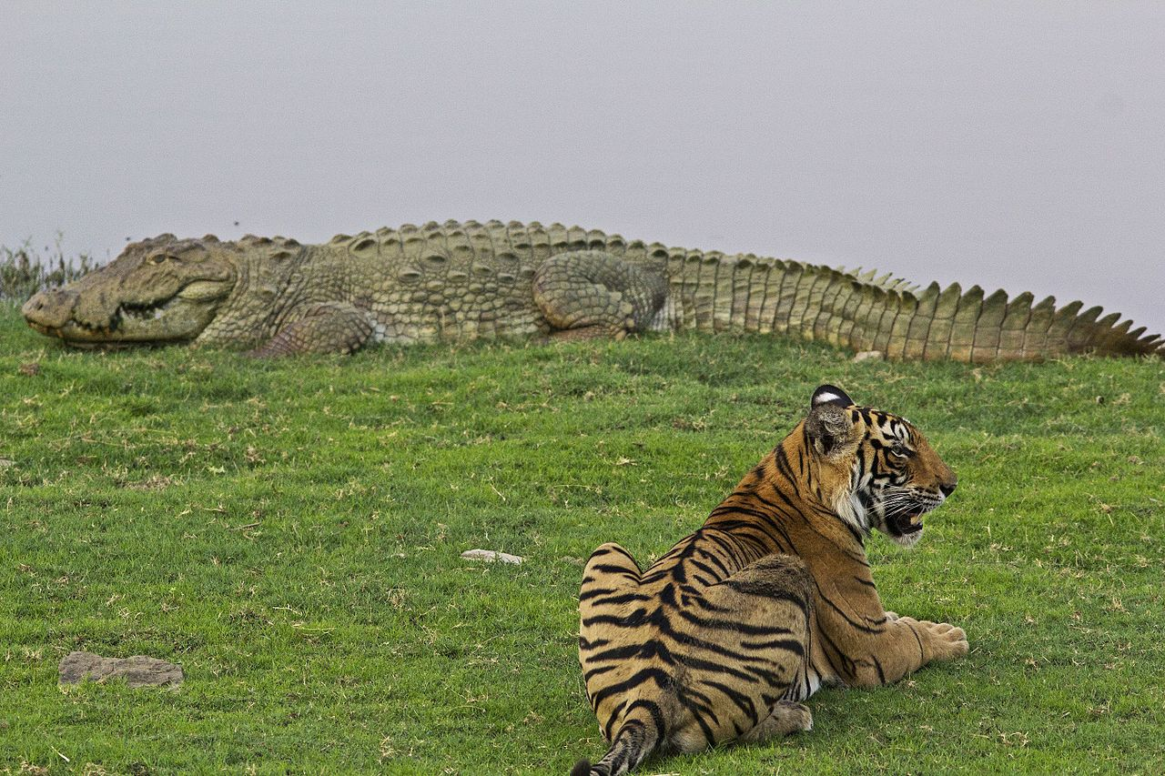 File A Male Tiger With Huge Crocodile At Rajbaugh
