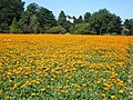 A non-food crop of calendulas or pot marigolds, looking across to Sheldwich church and the A251 - geograph.org.uk - 892749.jpg