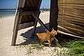 A tailless cat on Gili Air Island, Indonesia.jpg