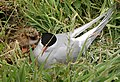 A tern on the nest with her chick, Inner Farne - geograph.org.uk - 1379427.jpg
