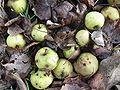 Abgefallene Holzäpfel.jpg