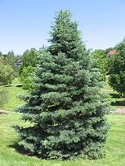 Abies concolor 20060624.jpg