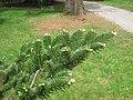 Abies fargesii var. fargesii, Arnold Arboretum - IMG 6119.JPG