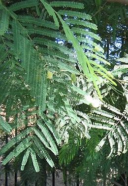Acacia-berlandieri-flowers4