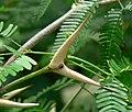 Acacia cornigera 2.jpg