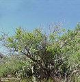 Acacia greggii1.jpg