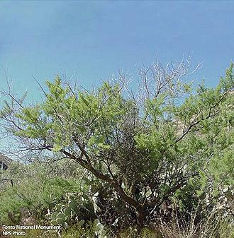 Senegalia greggii - Image: Acacia greggii 1