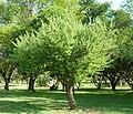 Acacia hebeclada subsp hebeclada, habitus, b, Jan Celliers Park.jpg