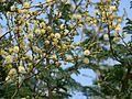 Acacia leucophloea (1459019372).jpg