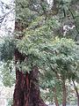 Acacia mearnsii2.jpg