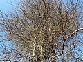 Acacia nigrescens, kroon en bas, Steenbokpan.jpg