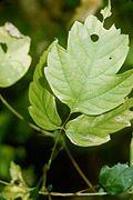 Acalypha neomexicana leaf.jpg