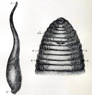 <i>Acanthobdella peledina</i> Species of annelid worm