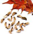 Acer seed.jpg