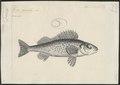 Acerina cernua - 1774-1804 - Print - Iconographia Zoologica - Special Collections University of Amsterdam - UBA01 IZ12900096.tif