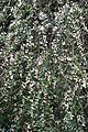 Acharya Jagadish Chandra Bose Indian Botanic Garden - Howrah 2011-02-20 1588.JPG