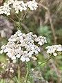 Achillea millefolium 101731125.jpg
