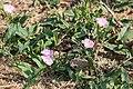 Ackerwinde (Convolvulus arvensis) - Flickr - blumenbiene (2).jpg