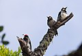 Acorn woodpeckers on Angel Island (40109).jpg