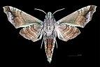 Acosmeryx anceus subdentata MHNT CUT 2010 0 98, Mudumalai National Park, Tamil Nadu ventral.jpg