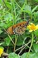 Acraea violae - Tawny Coster at Peravoor (3).jpg