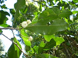 Acronychia oblongifolia fruit & leaf1.JPG