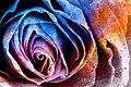 Acrylic Rose Macro - Hybrid HDR (11957558626).jpg