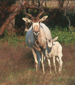 meaning of addax