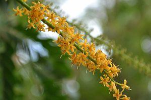 Adenanthera pavonina - Flowers