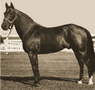 Maoris Idol Australian Standardbred racehorse