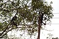 Adult lion-tailed macaque looking at the electrocuted infant in Valparai DSC 2552.jpg