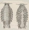 Aega emarginata - - Print - Iconographia Zoologica - Special Collections University of Amsterdam - UBAINV0274 098 11 0003 (cropped2).tif
