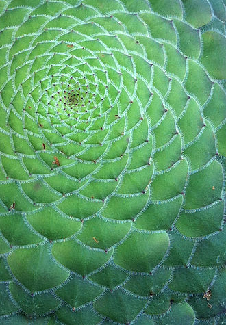 Golden ratio - Detail of Aeonium tabuliforme showing the multiple spiral arrangement (parastichy)