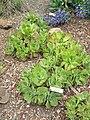 Aeonium valverdense - University of California Botanical Garden - DSC08943.JPG